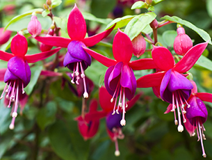 Ashtead and Dorking Fuchsia Show