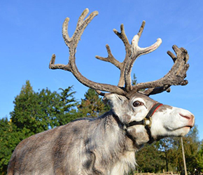 Santas Real Reindeer - Long Ditton