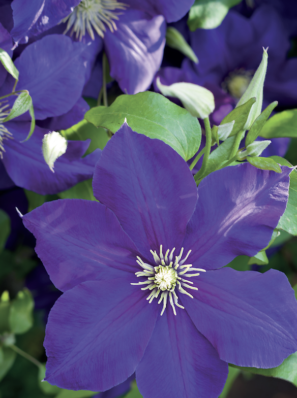 Clematis Plant Talk - Lacock